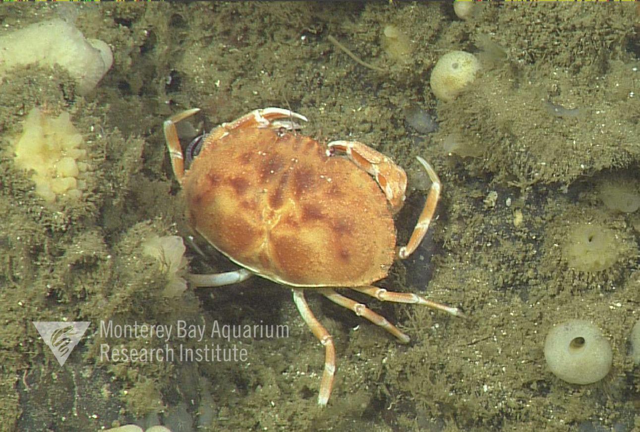 Representative image using: Cancridae sp. 1