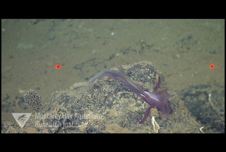 Representative image using: Torquaratoridae sp. 5