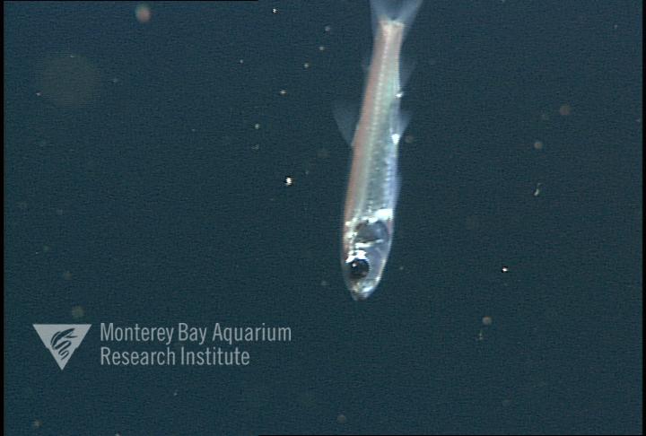 Representative image using: Bathylagoides wesethi