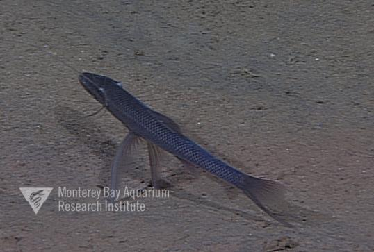 Representative image using: Bathypterois atricolor
