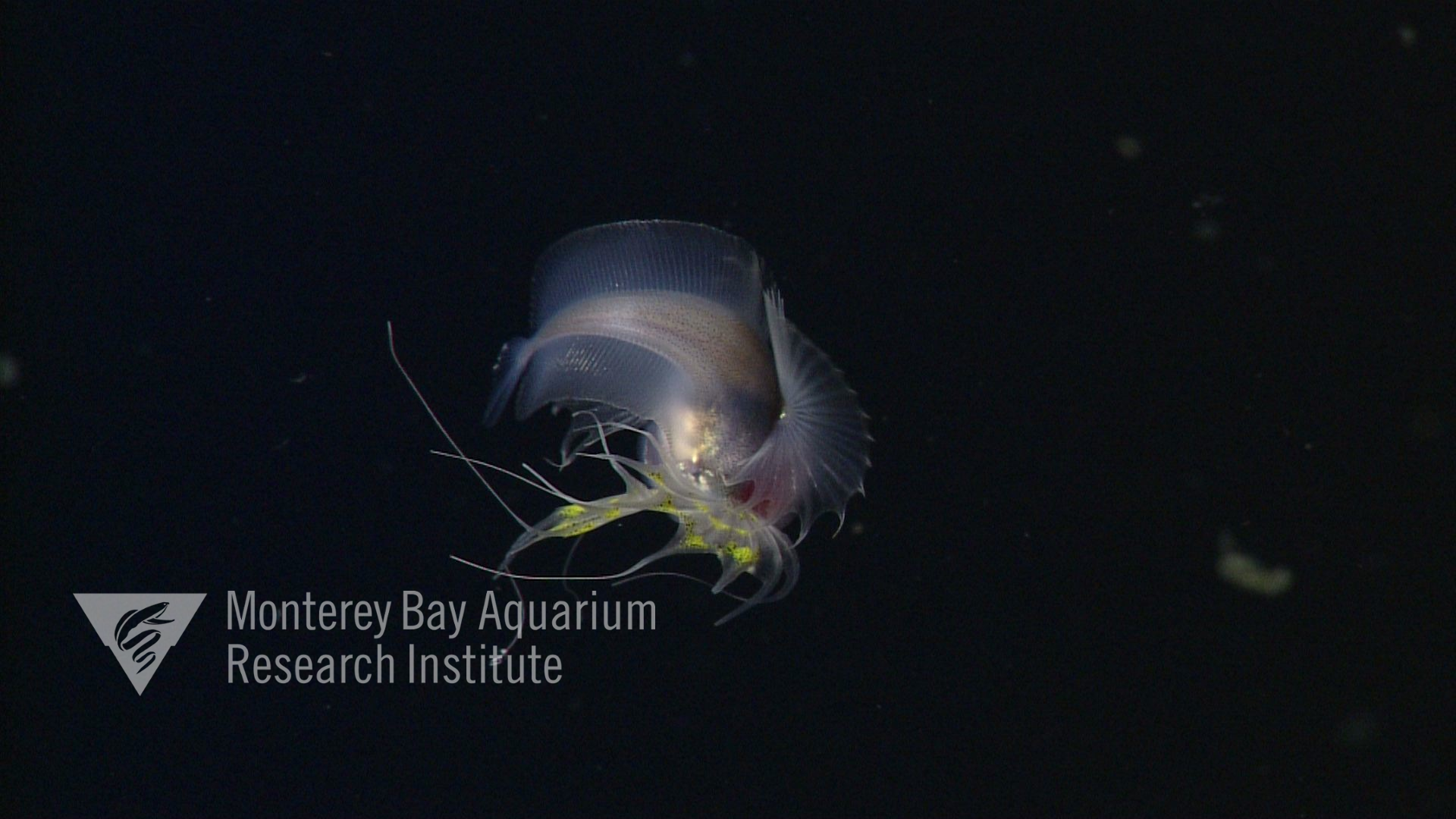 Image from Gulf of California. Juvenile.