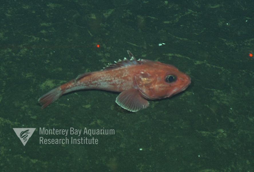 Representative image using: Sebastolobus alascanus