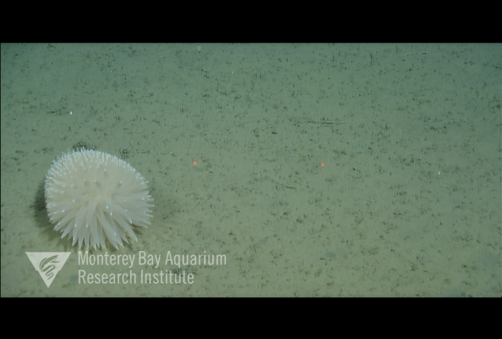 Detached from the substrate and rolling on the seafloor