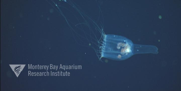 Although the manubrium of this jelly is often red, this individual also has parasitic amphipods inside it's bell.