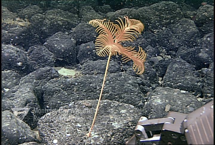 Representative image using: Parahyocrinus claguei