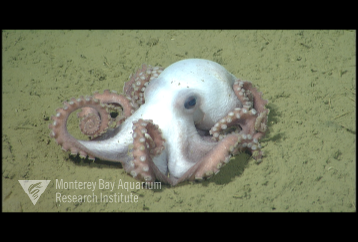 Representative image using: Benthoctopus sp. 1