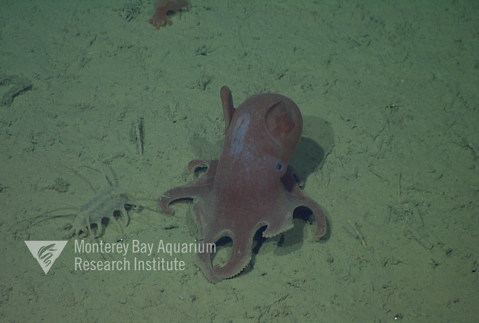 Representative image using: Grimpoteuthis sp. 5