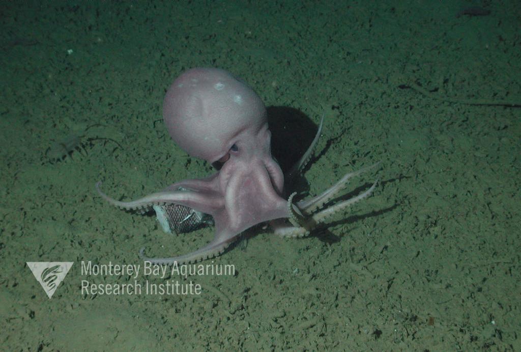 Representative image using: Muusoctopus robustus