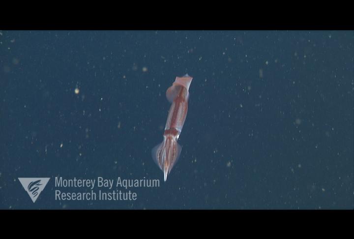 Representative image using: Onychoteuthis borealijaponica