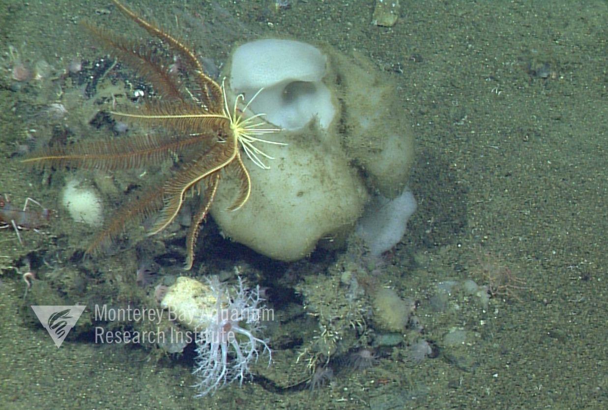 Representative image using: Acanthascinae sp. 2