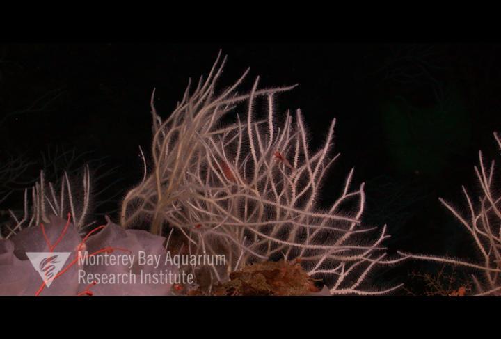 Representative image using: Asbestopluma monticola