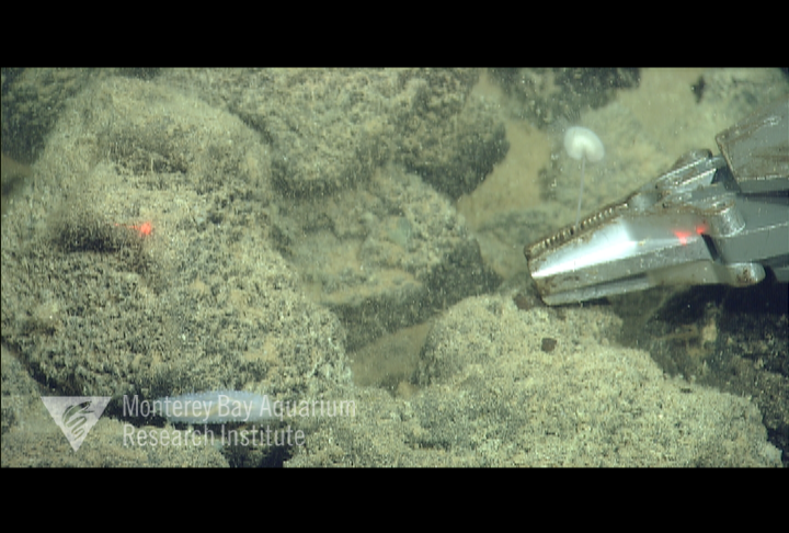 Representative image using: Lollipocladia tiburoni